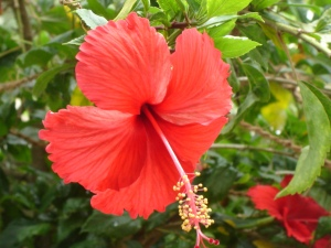 hibiscus-flower-drawing