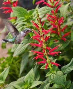 hummingbird-on-pineapple-sage-lo